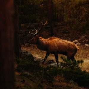 Elk bull in the woods