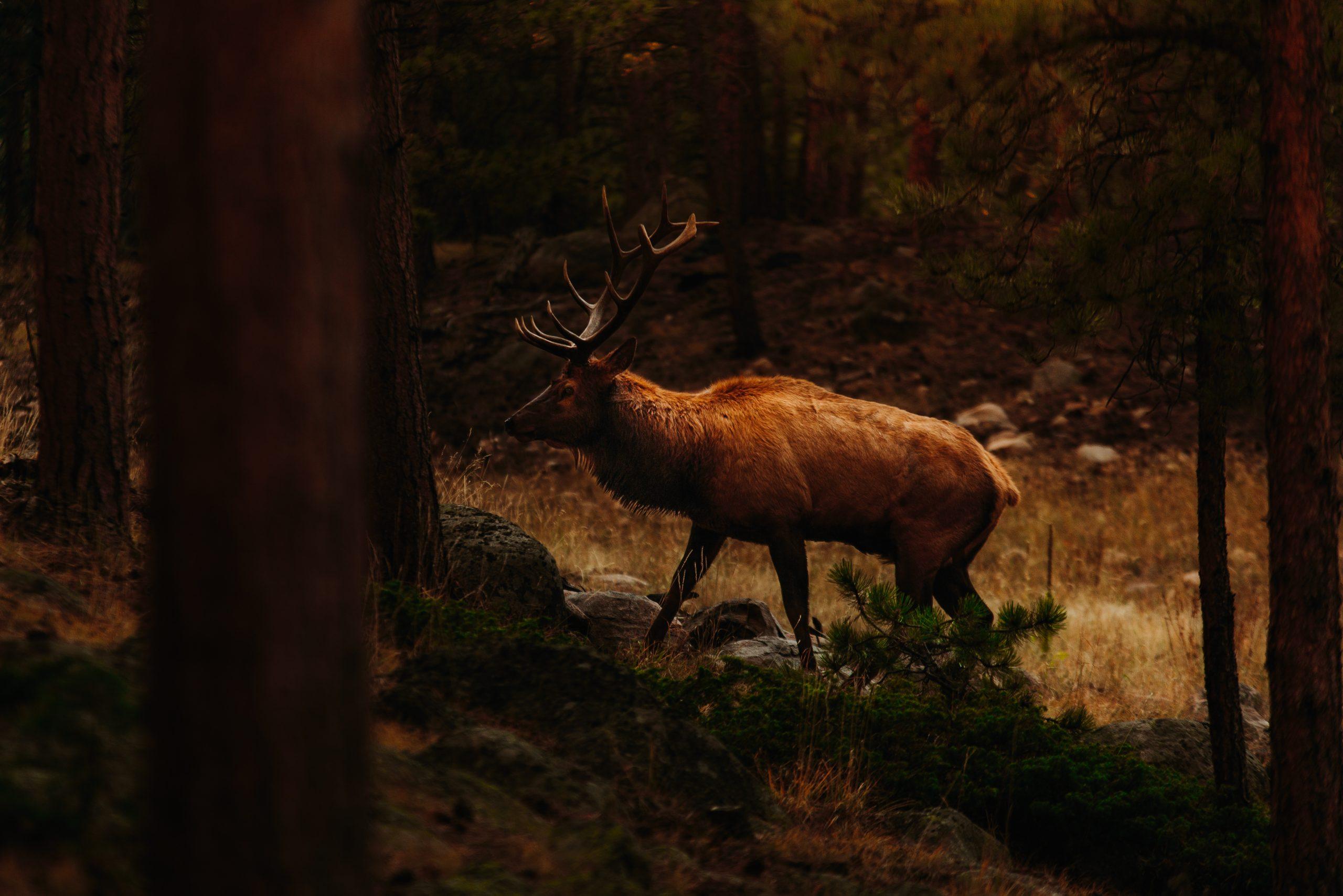 Elk bull in the woods